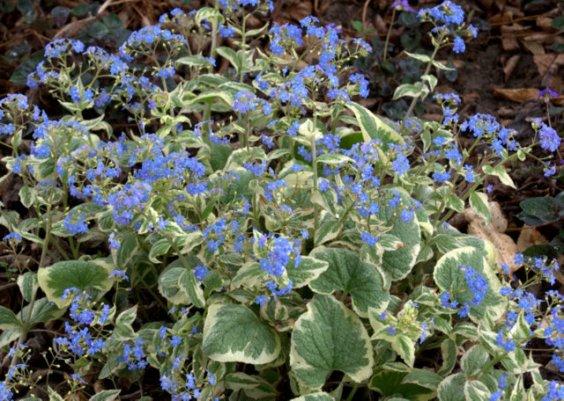 Brunnera macrophylla_Siberian Bugloss_DBG_20100417_LAH_3120