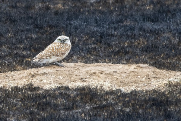 Burrowing Owl_HanoverRd-EPC-CO_LAH_2182r
