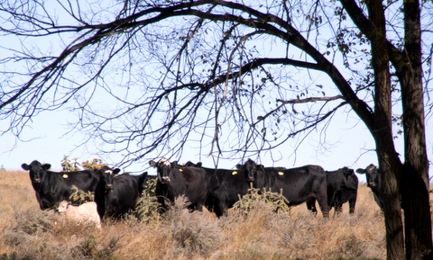 Chico Basin cows 4922