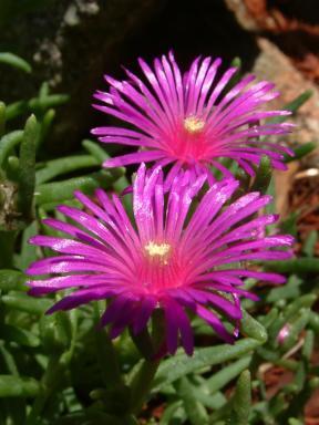 Delosperma cooperi - Hardy Ice Plant @Dana's garden LAH 003f