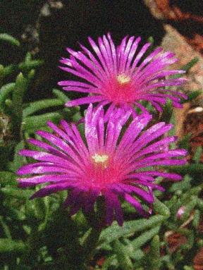 Delosperma cooperi - Hardy Ice Plant noisy