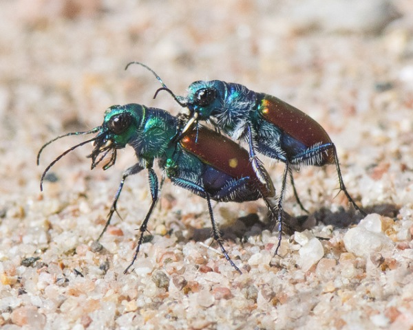 Festive Tiger Beetle_LakePuebloSP-CO_LAH_1444