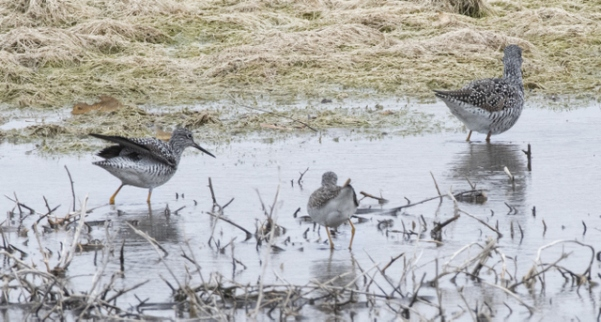 Greater & Lesser Yellowlegs_ChicoBasinRanch_LAH_2147r