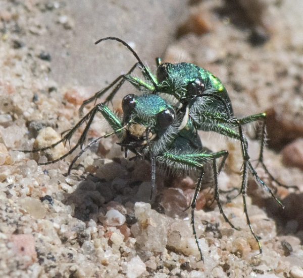 Green Claybank Tiger Beetle_LakePuebloSP-CO_LAH_1514