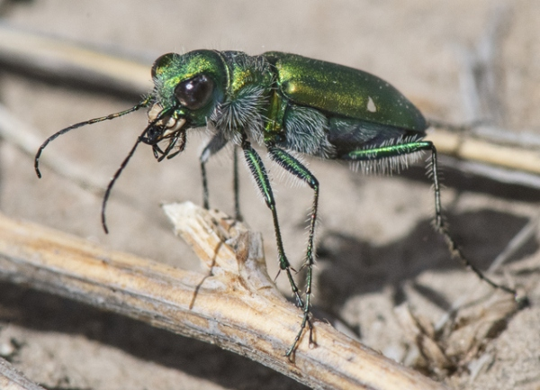 Green Claybank Tiger Beetle_LakePuebloSP-CO_LAH_1788r