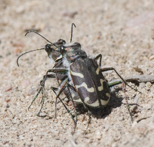 Oblique-lined Tiger Beetles_LakePuebloSP-CO_LAH_1722