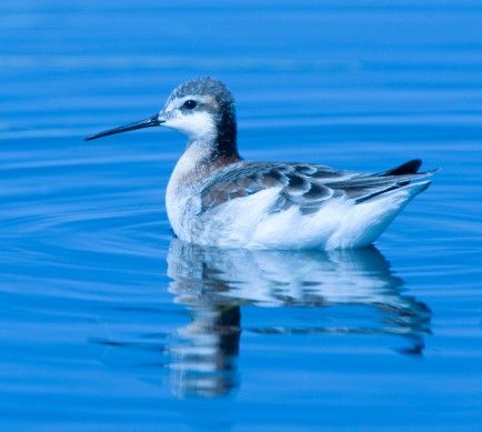 Wilson's Phalarope_AlamosaNWR-CO_LAH_2093 - as shot