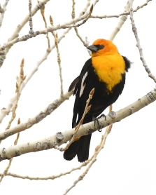 Yellow-headed Blackbird_ChicoBasinRanch_LAH_2086