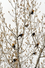 Yellow-headed Blackbirds_ChicoBasinRanch_LAH_2082