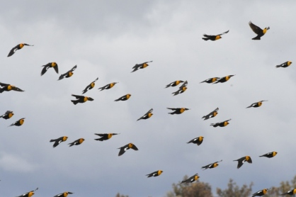 Yellow-headed Blackbirds_ChicoBasinRanch_LAH_2111