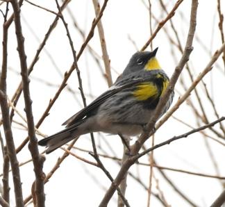 Yellow-rumped Warbler - Audubon's_ChicoBasinRanch_LAH_2011