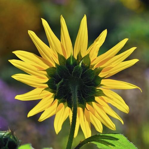 5.25 x 5.25 Sunflower_5104