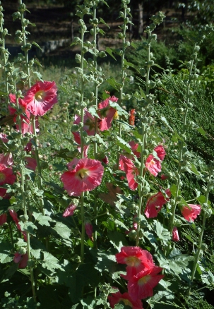 Alcea rosea - Hollyhocks @DianaPicchietti-Monument 22july05 LAH 001rs