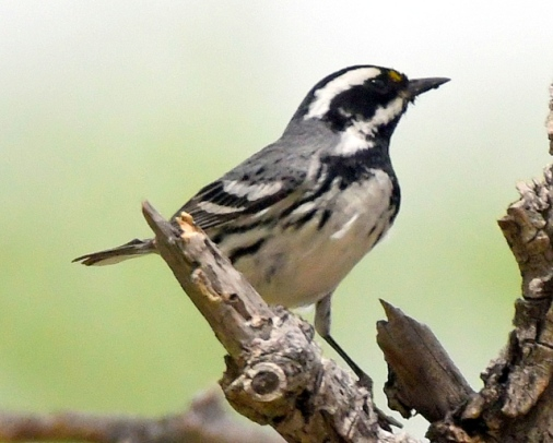 Black-throated Gray Warbler_ChicoBasinRanch-CO_LAH_2954