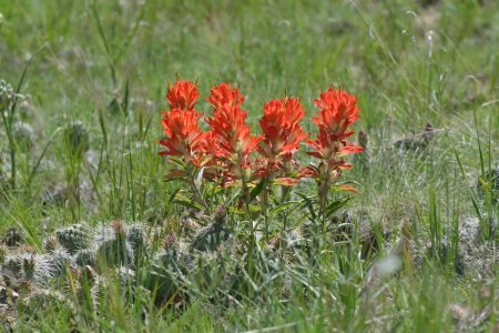 Castlileja integra_Wholeleaf Paintbrush_LathropSP-CO_LAH_2342