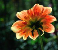 Dahlia 'Pooh'_HudsonGardens-CO_LAH_6246