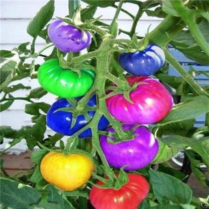gezhongseeds-colorful1_8_grande_9062d6eb-ddad-4948-97a4-0844a79e4946_512x