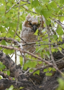 Great Horned Owlet_ClearSpringRanch-EPC-CO_LAH_3540