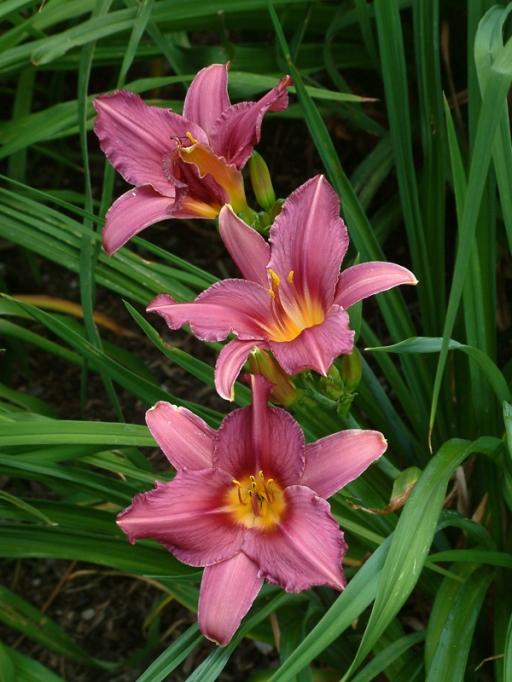 Hemerocallis - Daylily @Dana's garden LAH 009s