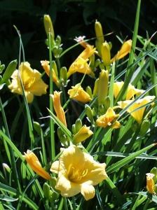 Hemerocallis 'Sweet Pea' bloom
