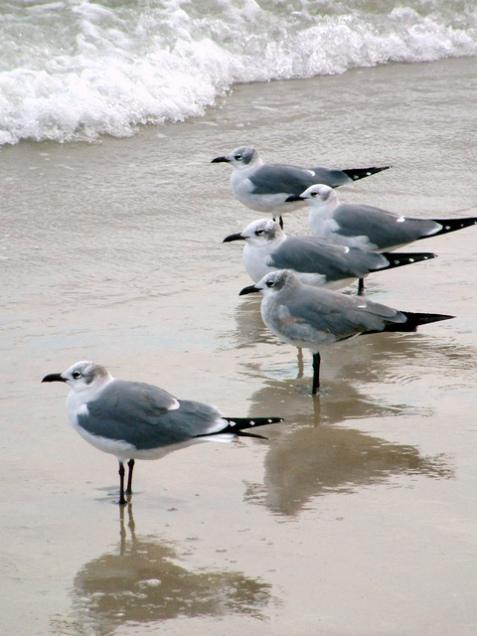 Laughing Gulls @PadreIs LAH 029