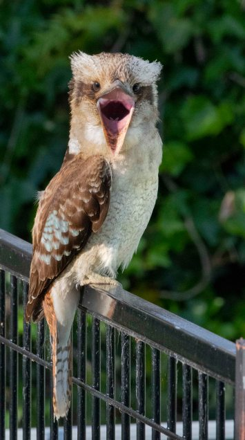 Laughing Kookaburra_Faulconbridge-NSW-Australia_LAH_6305r