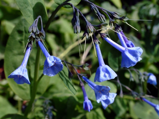 Mertensia_Chiming Bells_DBG LAH 008