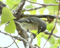Plumbeous Vireo_ClearSpringRanch-EPC-CO_LAH_3519