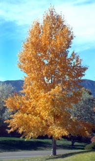 Populus tremuloides - Aspen fall color @Gleneagle area 18oct2005 LAH 012r