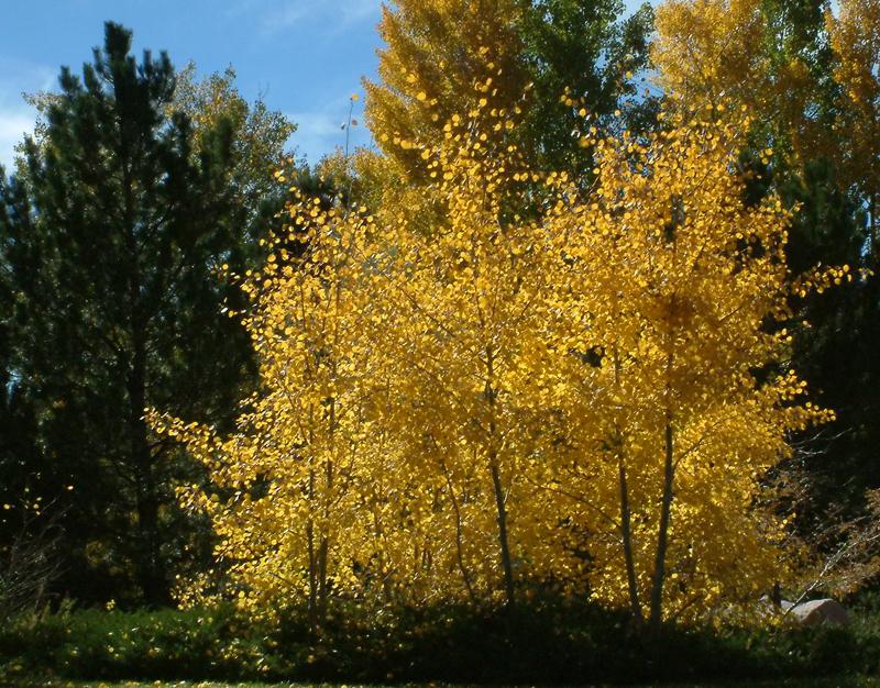 Populus tremuloides - Aspen fall color @Gleneagle area 18oct2005 LAH 018