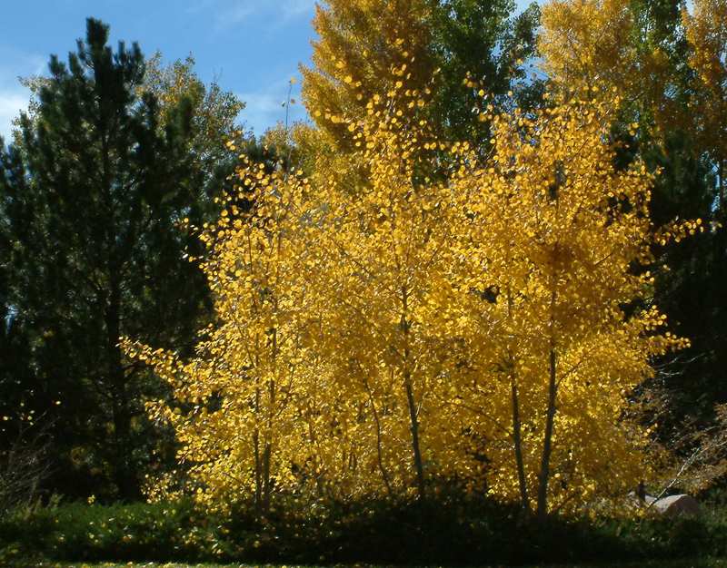 Populus tremuloides - Aspen fall color @Gleneagle area 18oct2005 LAH 018