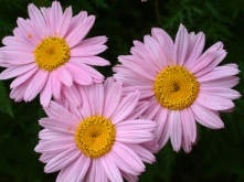 Pyrethrum roseum - Painted Daisy @DBG LAH 005rs