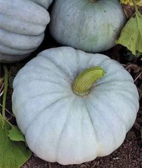 real blue pumpkin