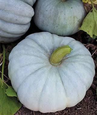 real blue pumpkin