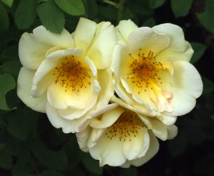 Rosa - Rose @DBG 2008jun26 LAH 372