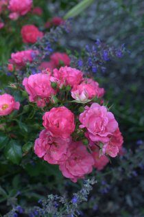 Rosa_Rose_TaylorU-IN_20090613_LAH_2749