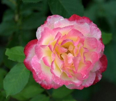 Rose_DBG_LAH_0479