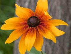 Rudbeckia hirta - Gloriosa Daisy_XG_LAH_6959