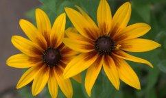 Rudbeckia hirta - Gloriosa Daisy_XG_LAH_6966