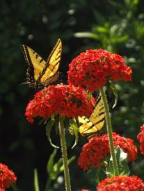 Swallowtail on Chalcedonica 1
