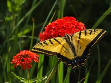 Swallowtail on Chalcedonica 2