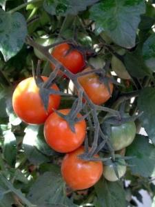 Tomatoes - cherry Sunsweet @home LAH