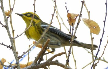 Townsend's Warbler_ChicoBasinRanch-CO_LAH_1208