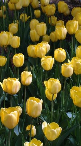 Tulipa yellow @DBG LAH 279rs