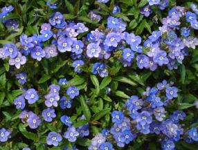 Veronica peduncularis 'Georgia Blue' @DBG LAH 171rs