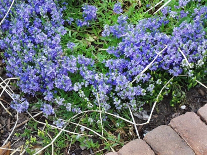 Veronica prostrata plant