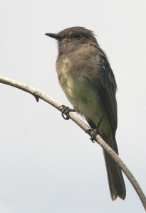 Western Wood-Pewee_EPC-CO_LAH_0210