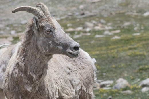 Bighorn Sheep_MtEvans-CO_LAH_5636