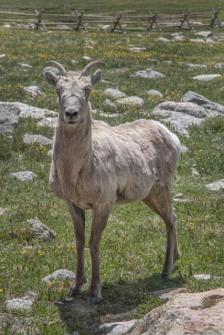 Bighorn Sheep_MtEvans-CO_LAH_5668