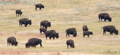 Bison_CusterSP-LAH_7306